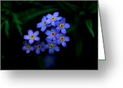 Cream Flowers Greeting Cards - Jasper - Alpine Forget - Me - Not Greeting Card by Terry Elniski
