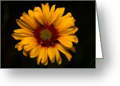 Cream Flowers Greeting Cards - Jasper - Brown-eyed Susan Greeting Card by Terry Elniski