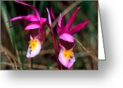 Cream Flowers Greeting Cards - Jasper - Calypso Orchid 2 Greeting Card by Terry Elniski