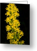 Wildflower Photography Greeting Cards - Jasper - Canada Goldenrod Wildflower 2 Greeting Card by Terry Elniski