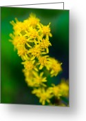 Wildflower Photography Greeting Cards - Jasper - Canada Goldenrod Wildflower Greeting Card by Terry Elniski