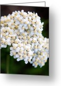 Wildflower Photography Greeting Cards - Jasper - Common Yarrow Wildflower Greeting Card by Terry Elniski