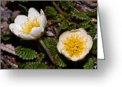 Sub Greeting Cards - Jasper - Eight Petal Mountain-avens Greeting Card by Terry Elniski