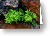 Cream Flowers Greeting Cards - Jasper - Fern Greeting Card by Terry Elniski