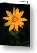 Cream Flowers Greeting Cards - Jasper - Heartleaf Arnica Greeting Card by Terry Elniski
