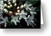 Red And Tea Greeting Cards - Jasper - Labrador Tea Wildflower Greeting Card by Terry Elniski