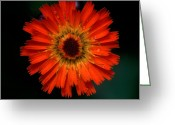 Cream Flowers Greeting Cards - Jasper - Orange Hawkweed Greeting Card by Terry Elniski