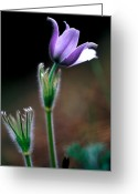 Sub Greeting Cards - Jasper - Prairie Crocus Greeting Card by Terry Elniski
