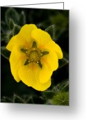 Sub Greeting Cards - Jasper - Snow Cinquefoil 3 Greeting Card by Terry Elniski