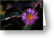 Sub Greeting Cards - Jasper - Subalpine Fleabane 2 Greeting Card by Terry Elniski