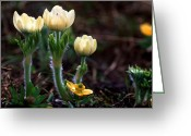 Sub Greeting Cards - Jasper - White Pasqueflower Greeting Card by Terry Elniski