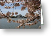 Blossom Greeting Cards - Jefferson Memorial Framed by Cherry Blossoms Greeting Card by Brendan Reals