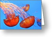 Red Bay Greeting Cards - Jelly Fish Greeting Card by Jill Buschlen