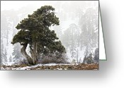 Old Tree Trunk Photo Greeting Cards - Juniper (juniperus Foetidissima) Greeting Card by Bob Gibbons