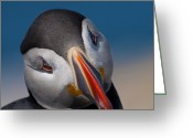 Sea Bird Greeting Cards - Just a little bit shy.. Greeting Card by Nina Stavlund