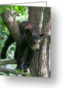 Black Bear Cubs Greeting Cards - Just Hangin Out Greeting Card by Gerry Sibell