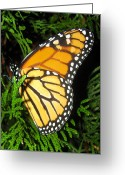 Designer Butterfly Works Photo Greeting Cards - Just Out Of Cacoon Greeting Card by Debra     Vatalaro