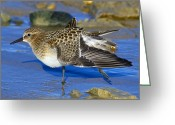 Migrant Greeting Cards - Juvenile Bairds Sandpiper Greeting Card by Tony Beck