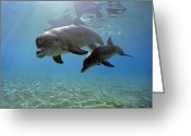 Bottle-nosed Dolphin Greeting Cards - Juvenile Bottlenose Dolphin Greeting Card by Jeff Rotman