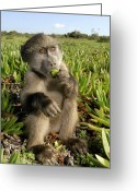 Figs Greeting Cards - Juvenile Chacma Baboon Greeting Card by Peter Chadwick