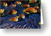 Sea Anemones Greeting Cards - Juvenile Maldives Clownfish Swim Greeting Card by David Doubilet