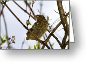 Twig Greeting Cards - Juvenile Robin Greeting Card by Jane Rix