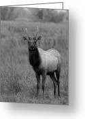 Black Elk Greeting Cards - Juvenile Tule Elk Buck Merced County CA Greeting Card by Troy Montemayor