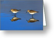 Sandpiper Greeting Cards - Juvenile White-rumped Sandpipers Greeting Card by Tony Beck