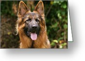 Alsatian Greeting Cards - Kaiser - German Shepherd Greeting Card by Sandy Keeton