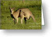 Australian Animal Greeting Cards - Kangaroo Male Greeting Card by Bob Christopher