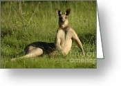Australian Animal Greeting Cards - Kangaroo Playing It Cool Greeting Card by Bob Christopher