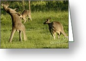 Australian Animal Greeting Cards - Kangaroo Ready To Box Greeting Card by Bob Christopher