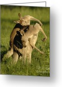 Australian Animal Greeting Cards - Kangaroos Taking A Bow Greeting Card by Bob Christopher