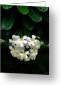 Molokai Greeting Cards - Kawela Plumeria Greeting Card by James Temple