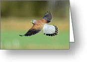 On The Move Greeting Cards - Kestrel Bird Greeting Card by Mark Hughes