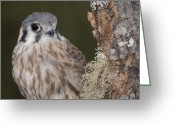 Lichen Image Greeting Cards - Kestrel Greeting Card by Cindy Lindow