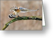 Raptor Greeting Cards - Kestrel Falcon Hunting on the Wing Greeting Card by Scott  Linstead
