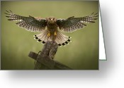 Without Greeting Cards - Kestrel on Final Approach Greeting Card by Andy Astbury