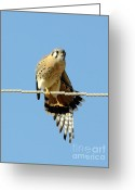 Business Decor Greeting Cards - Kestrel On The Tightwire Greeting Card by Robert Frederick