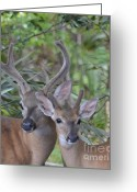 Florida Key Deer Greeting Cards - Key Deer Greeting Card by Carol McGunagle