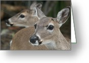 Florida Pyrography Greeting Cards - Key Deer Florida Greeting Card by Valia Bradshaw