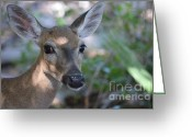 Florida Key Deer Greeting Cards - Key Deer in Spotted Sunlight Greeting Card by Carol McGunagle