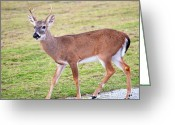 Florida Key Deer Greeting Cards - Key Deer Greeting Card by Kenneth Albin