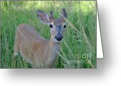 Florida Key Deer Greeting Cards - Key Deer Velvet Buck Greeting Card by Alexander Gureckis