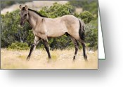 Bighorn Greeting Cards - Kiger Colt Greeting Card by Larry Ricker