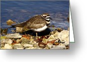 Bird Cards Greeting Cards - Kildeer On The Rocks Greeting Card by Robert Frederick