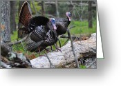 Eastern Turkey Greeting Cards - King of Spring Greeting Card by Todd Hostetter