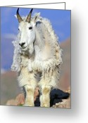 Horns Greeting Cards - King of The Mountain Greeting Card by Scott Mahon