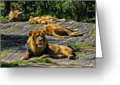 African Cats Greeting Cards - King of the Pride Greeting Card by Karol  Livote