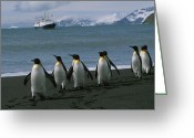 Rock Groups Greeting Cards - King Penguins And Cruise Ship Lindblad Greeting Card by Gordon Wiltsie